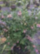 Blueberries Plant.JPG