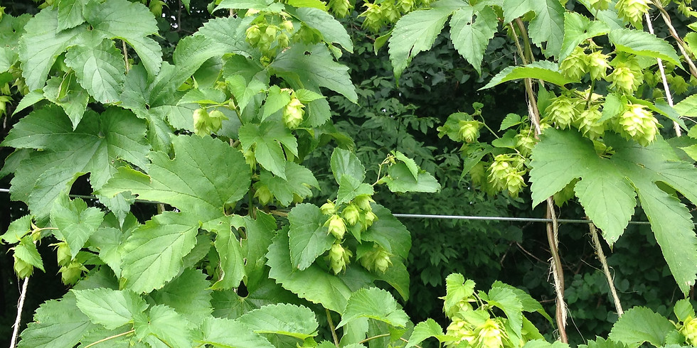 First Annual Sandy Hills Hops Picking Party