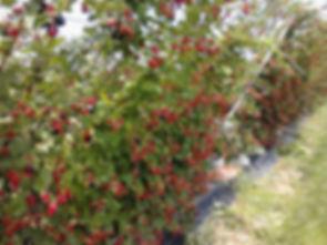 14photo 4 fruit ripening on 3rd year far