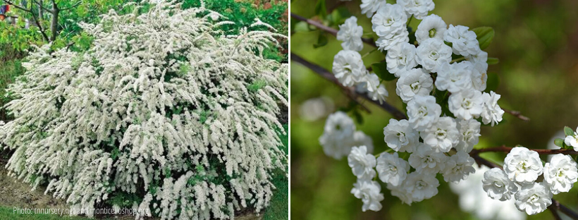 bridal-wreath-spirea