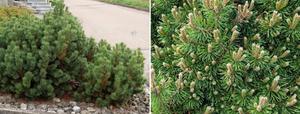 mugo-pine