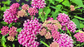 Where to Buy Native Plants Around Chicago - 2020 (Social Distancing Edition)