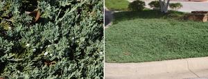 blue-rug-juniper