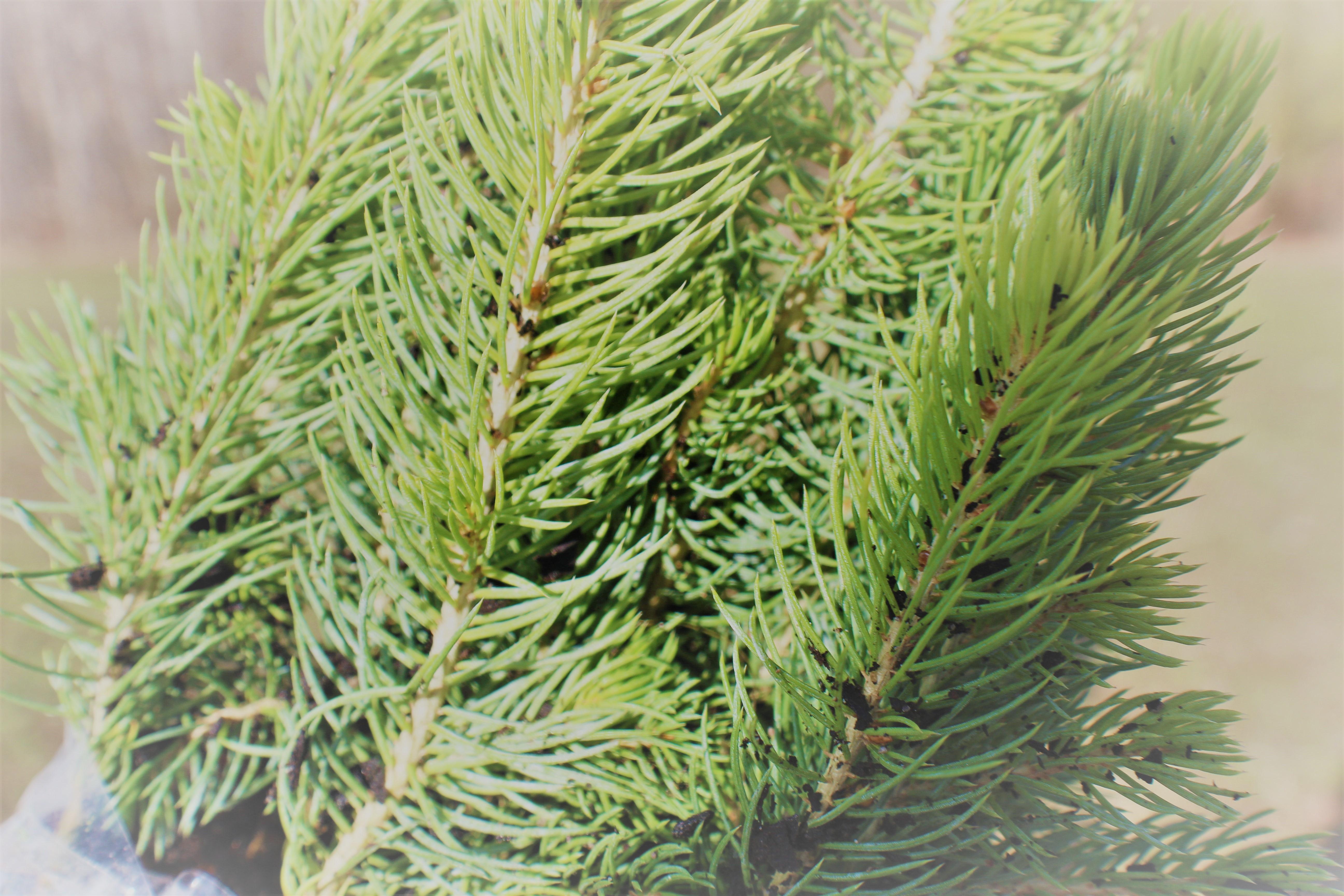 Meyers Spruce