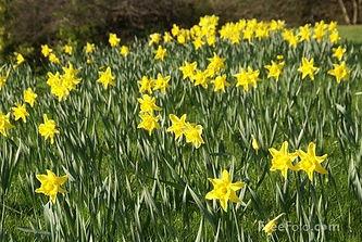 Daffodil.jpg