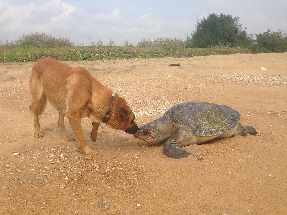 Mutlu inspecting a dead turtle