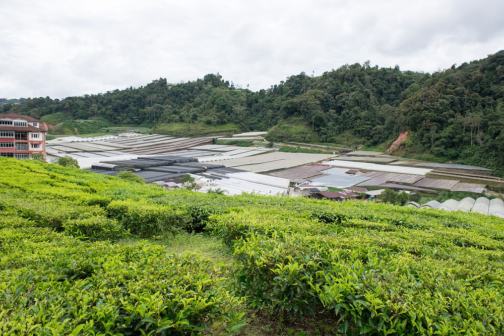 Plastic greenhouses and tea - a common view in the Cameron highlands