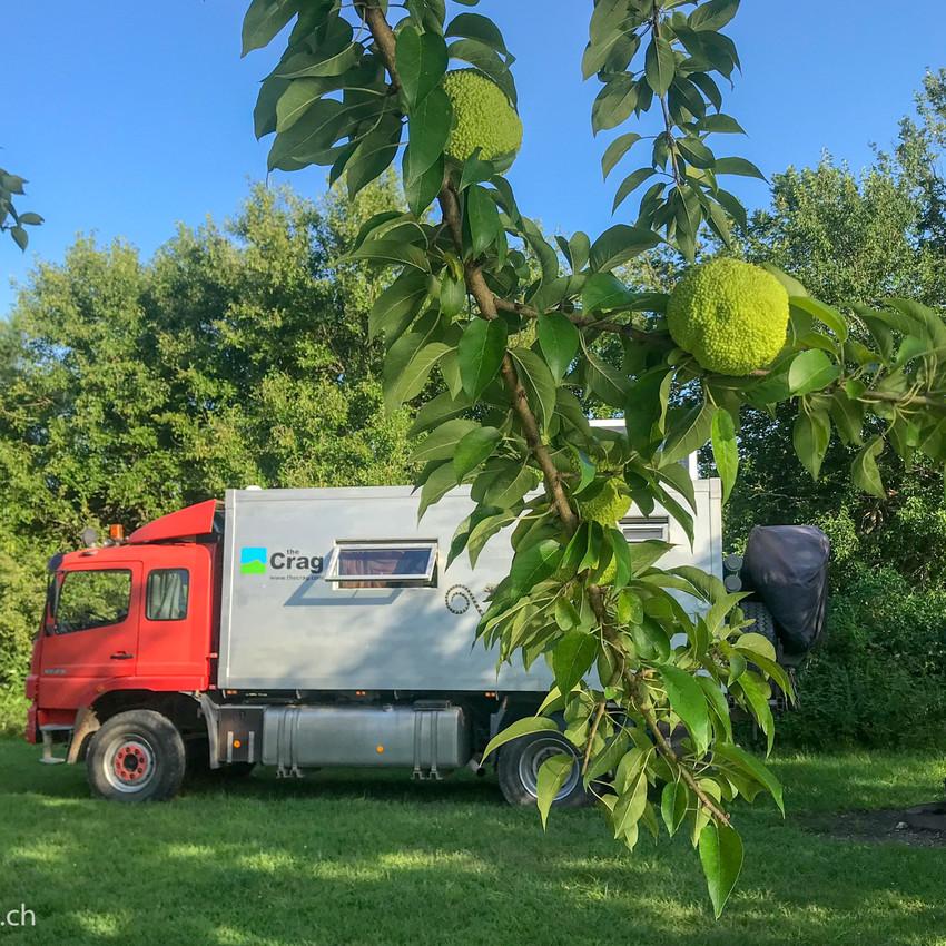 Rouletout with an Osage Orange tree