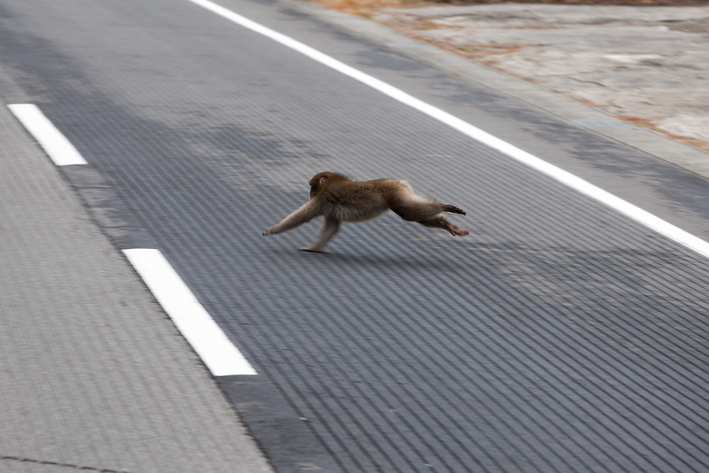 A monkey crossing the street near Nagano