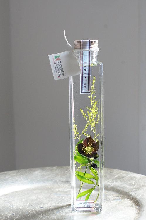 原種クリスマスローズの植物標本 アトロルーベンス H.atrorubens