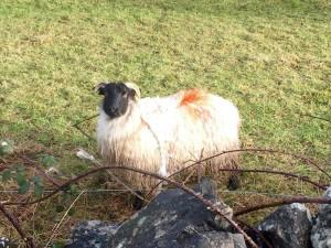 Declan the sheep