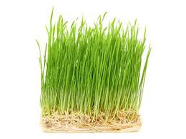 Wheatgrass 1pcs(40-50gm)