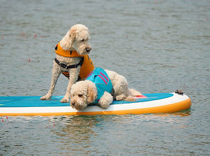 Two White Poodles Riding on a Paddle Board at the Lake.jpg