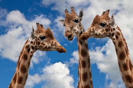 giraffes-627031.jpg