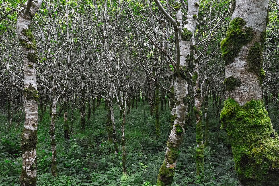 Landschaftsfotografie | Birkenwald