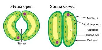 stomata .png