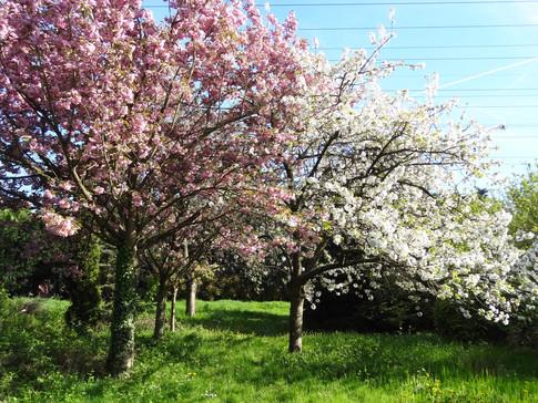 Les cerisiers en fleurs au printemps dans le parc
