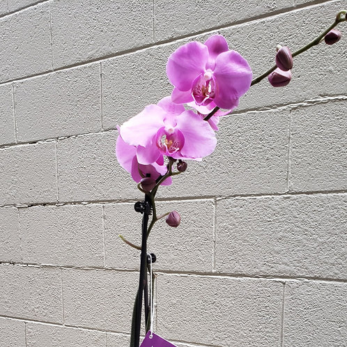Single Phalaeonopsis Orchid Plant
