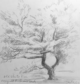 Old White Pine 2020