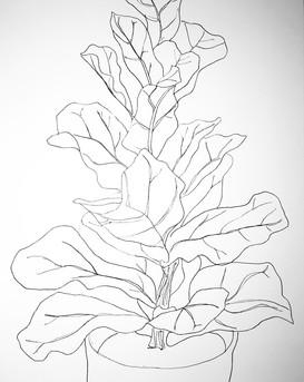 Ficus Lyarata 2020