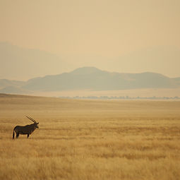 Oryx looking out over a field towards mountains