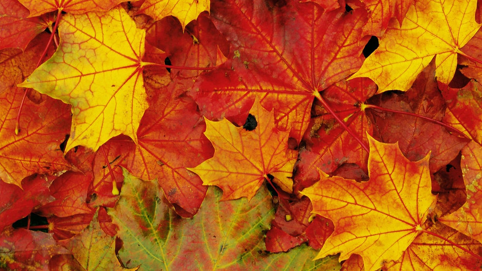 maple-leaf-wallpaper-3.jpg
