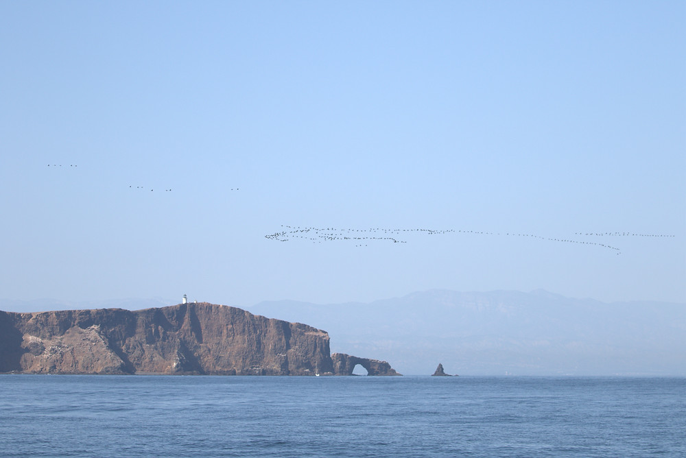 Brant in migration south of Anacapa Island