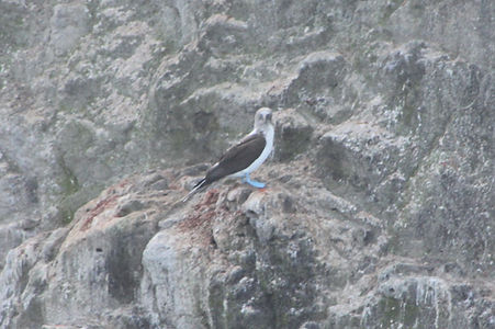 Blue-footed Booby Anacapa Island