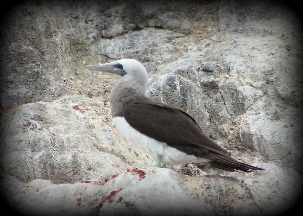 Adult male Brown Booby (Pacific)