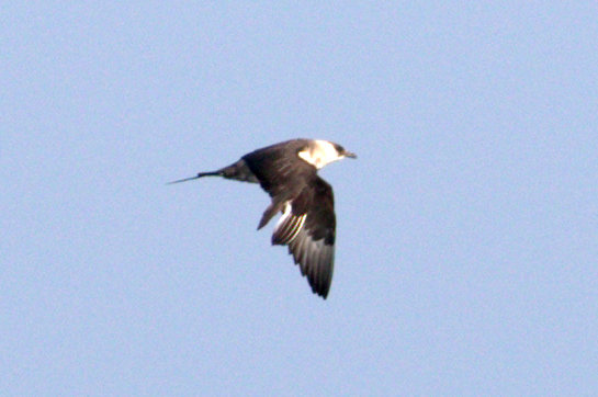 Medium long pointed central tail feathers. Bright white neck and less extension of the dark cap that ends about even with the bill.