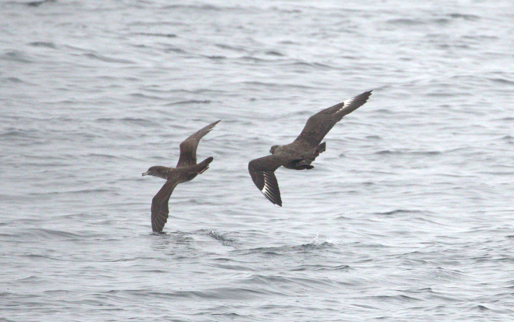 South Polar Skua attacking a Pink-footed Shearwater