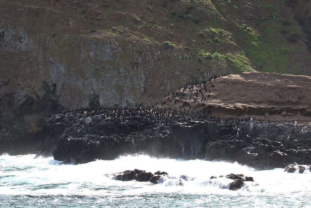 Brandt's Cormorants, Anacapa Island