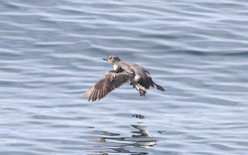 Cassin's Auklet in flight