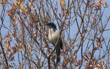 February Island Scrub-Jay Pelagic