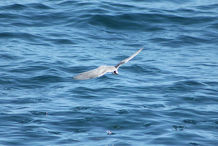 Common Tern
