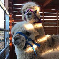 Private alpaca walking experience