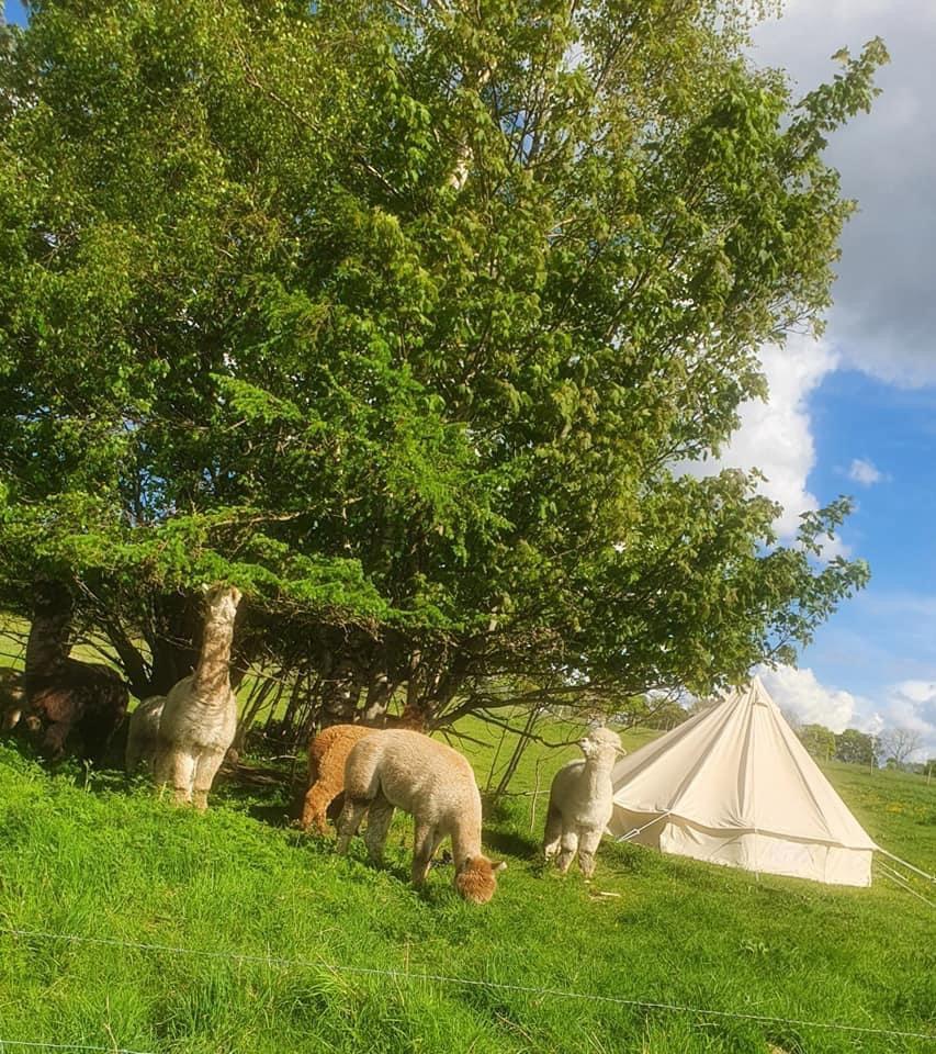 Alpaca Camping With Walk