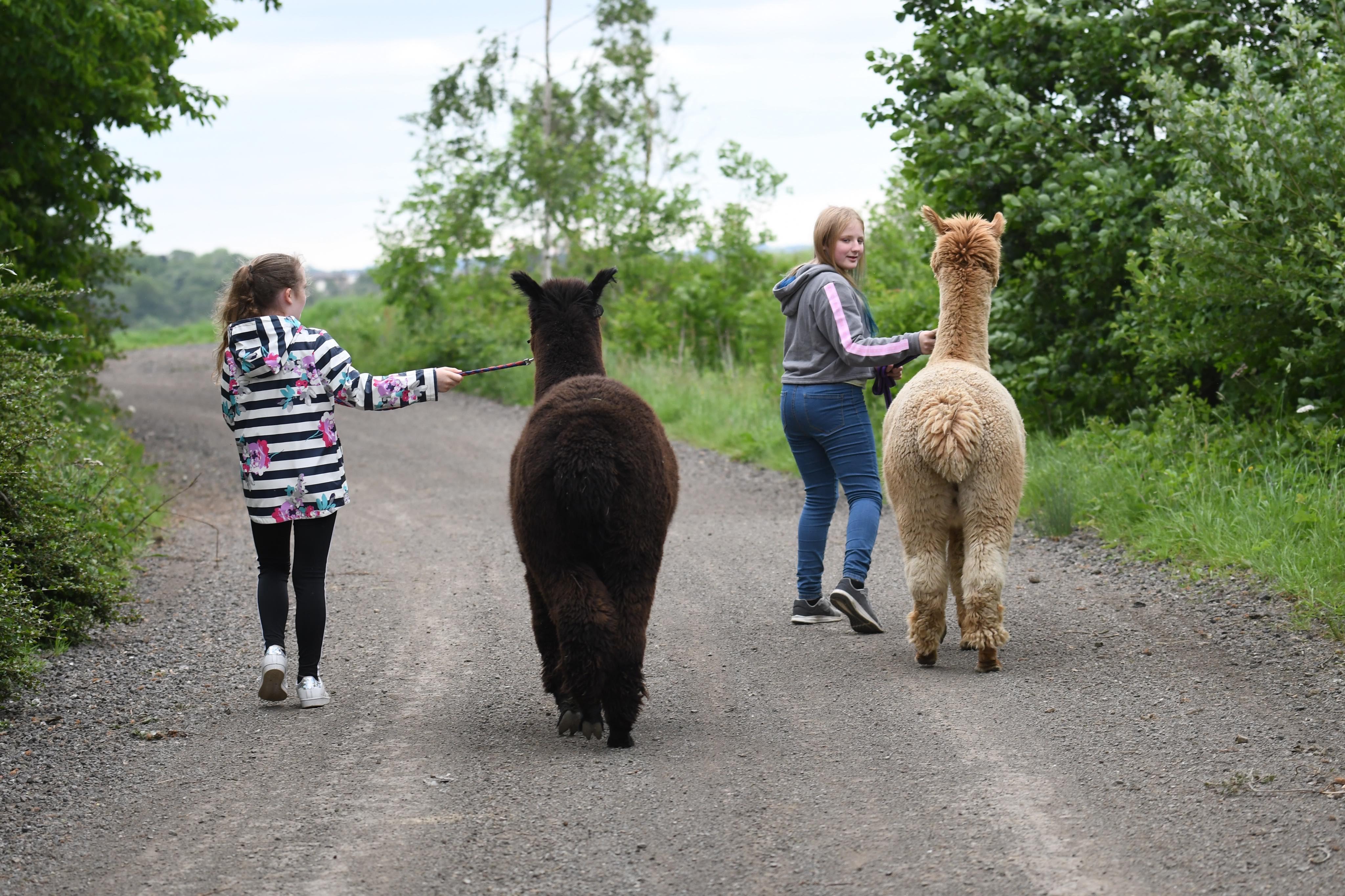 Group alpaca walking experience