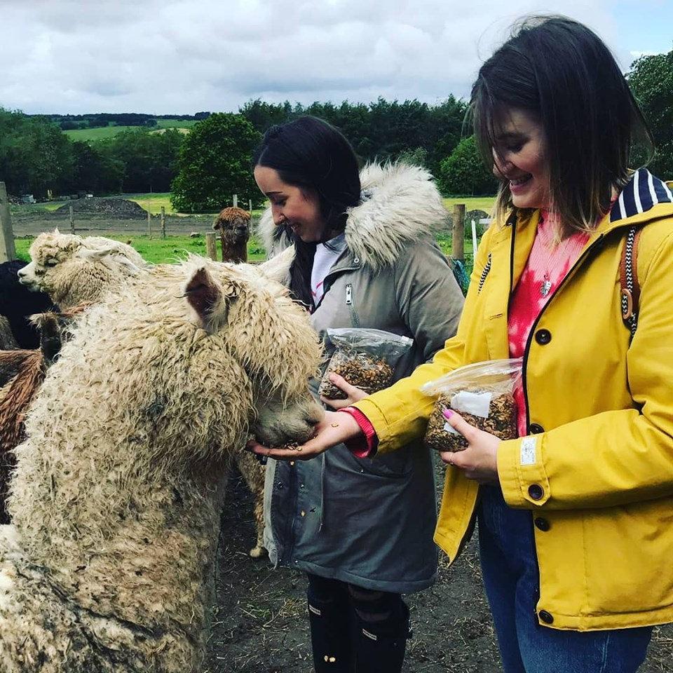 Meet and greet alpaca experience