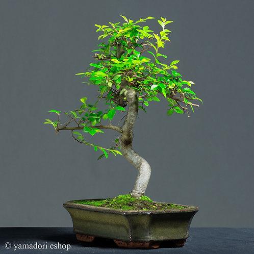 Kanna-Ulmus Parvifolia