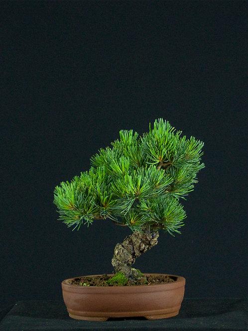 White Pine Japan