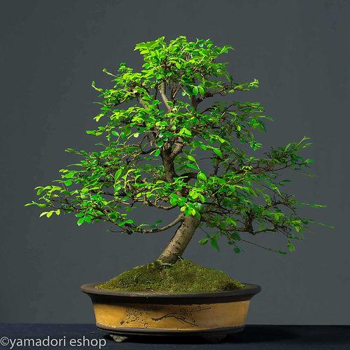 Noriko-Ulmus Parvifolia