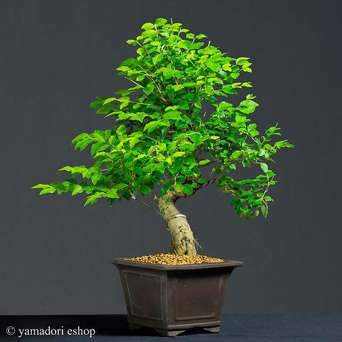 Takeshi -Ligustrum Sinensis