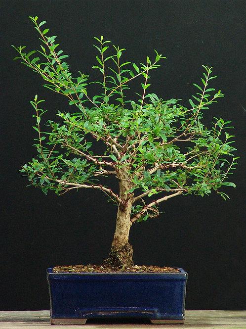 Punica granatum (ροδιά) wired