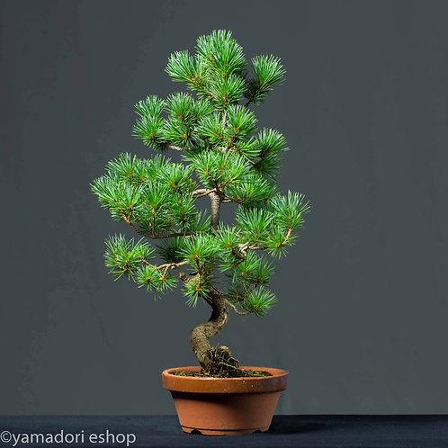 Kozue-White Pine Japan