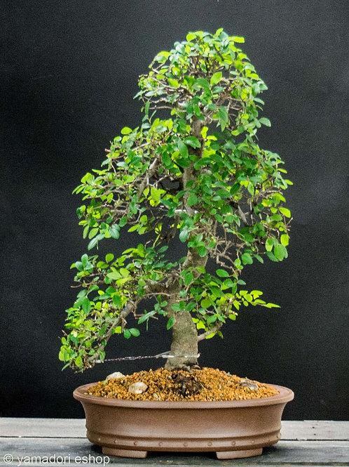 Ulmus parvifolia  XL