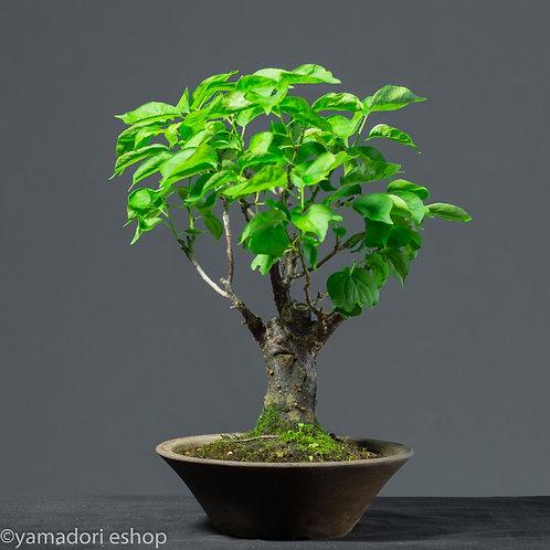 Airi -Prunus Cherry Japan