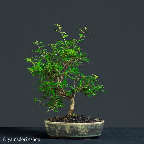 Hoshi -Punica Granatum (ρογδιά)