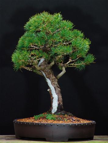 White Pine Kokonoe