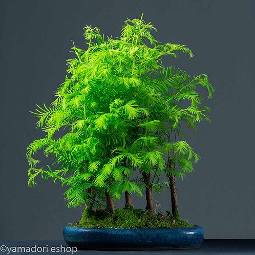 Kazuki -Metasequoia forest (Yose-ue)